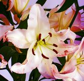Large flowers of a lily, close-up, white background. isolate. Stock Photography