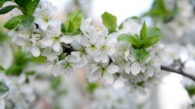 Large flowers on plum tree in spring. Large flowers on a plum tree in spring stock video