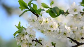 Large flowers on plum tree in spring. Large flowers on a plum tree in spring stock footage