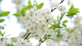 Large flowers on plum tree in spring. Large flowers on a plum tree in spring stock video footage