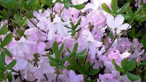 Beautiful rhododendron bloom flowers. Large flowers of rhododendron bloom in the botanical garden in the spring close-up stock video footage