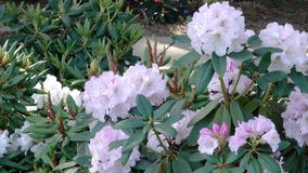 Large flowers of rhododendron. Bloom in the botanical garden in the spring close-up stock video