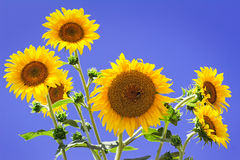 Large flowers of a sunflower against the blue sky. Stock Image
