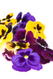 Large flowers viola . Stock Images