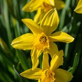 The large flowers of yellow daffodils against green grass and le stock photography
