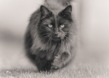 Large Fluffy Black Cat Trotting. A huge fluffy black tom cat look directly at the camera and trots towards it looking rather fierce! Shown in black & white, with stock photography