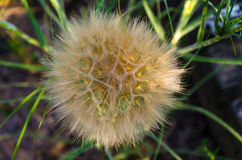 Large fluffy dandelion. A large, sunny dandelion on a summer day Stock Images