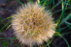 Large fluffy dandelion. A large, sunny dandelion on a summer day royalty free stock images