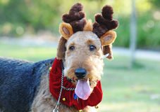 Large fluffy dog Christmas costume reindeer antler. A large beautiful Pedigree Airedale Terrier adult dog dressed up in fancy dress costume for the Christmas Royalty Free Stock Photo