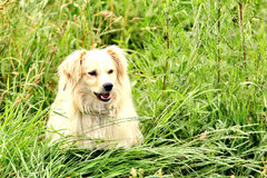 Large, fluffy, white dog in nature. Gorgeous cute puppy. Plays in nature. Puppy playing in the grass. Cute dog walks in the field Stock Photography