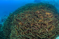 Large fluorescent lettuce coral reef Royalty Free Stock Images