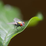 Large fly Royalty Free Stock Images