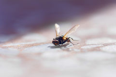 Large fly lit by sun Royalty Free Stock Photos