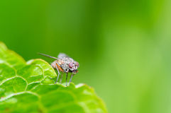 Large fly standing on green leaf Royalty Free Stock Photos