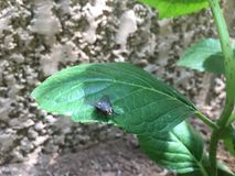 A large fly stands on a green leaf. In the morning of a home garden Stock Photography