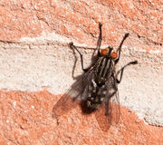 Large Fly on a Wall Stock Photo