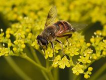 Large fly on a yellow inflorescence Royalty Free Stock Photo