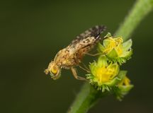 Large fly on a yellow inflorescence Stock Photo