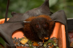 Large flying fox Stock Photos