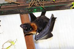 Large Flying Fox. Stock Photography