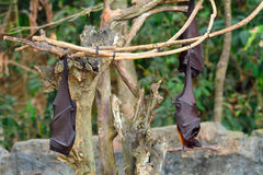 Large flying foxes, Bali, Indonesia Royalty Free Stock Photos