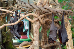 Large flying foxes, Bali, Indonesia Stock Photo