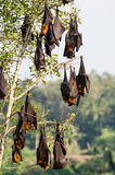 Large flying foxes (fruit bats) hanging in a tree Stock Photo