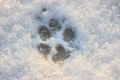 The large footprint of dog or wolf in the snow. walking Pets in winter in Sunny weather. paw print royalty free stock photo