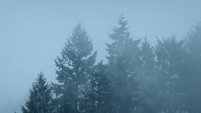 Forest Trees In Thick Mist. Large forest trees with dense mist moving around them stock footage
