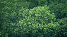 Large Forest Trees In Strong Wind. Mass of big woodland trees shaking in the wind stock video footage