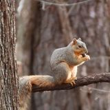 Fox squirrel sitting on limb stock photo