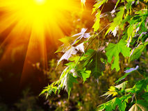 Large fresh green maple leaves with sun shinning through Stock Photo