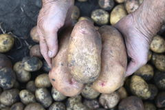 Large fresh potatoes in farmer's hands. Royalty Free Stock Photos