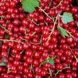 Large fresh red currant berries, among which there are leaves. Large fresh red currant berries, among which there are the stem and leaves Stock Images