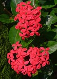 Large Fresh Red Ixora Flower Plant with Green Leaves Royalty Free Stock Image