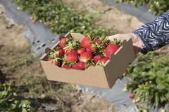 Large fresh strawberries in a Kilo box Royalty Free Stock Photography