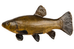 Fish tench. Large fresh tench isolated on white background Stock Image