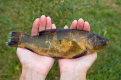 Large freshwater tench Stock Images