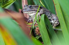 A large frog in the grass stock photo