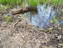 Large frog and water and mud in swamp environment. Large frog and water and mud and grasses in swamp environment royalty free stock image