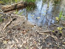 Large frog and water and mud in swamp environment. Large frog and water and mud and grasses in swamp environment stock photos