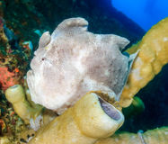 Large frogfish on a tube sponge Stock Photos