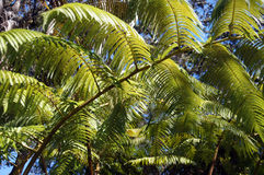 Large fronds of a fern tree Stock Photos