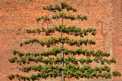 Large fruit tree trained on brick wall Stock Photo