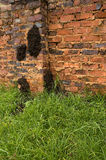 Large fungus-growing termite nest. Large fungus growing Macrotermes natalensis termite net on a residential brick wall royalty free stock photos