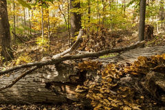 A large fungus grows on the side of a fallen tree Stock Photography