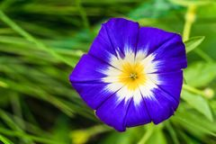 Large funnel-shaped blue morning glory flower close-up Stock Photos