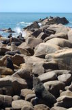 Large Fur Seal colony. Baskin in the sun.  Cabo Polonio.  Uruguay Stock Image