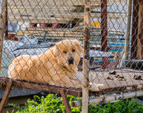Large furry dog kept in cage Stock Photography
