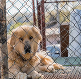 Large furry dog kept in cage Royalty Free Stock Images